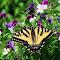 20130610_s3_0824 tiger swallowtail among johnny jump-ups A.jpg