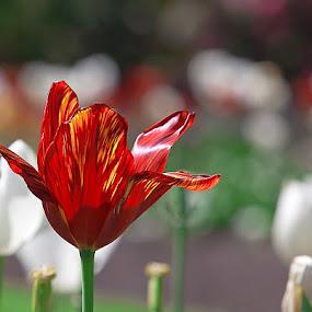 Fiery Tulip by I Snapit - Flowers Single Flower (  )