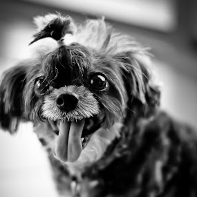 Playful by Paolo Albos - Animals - Dogs Portraits
