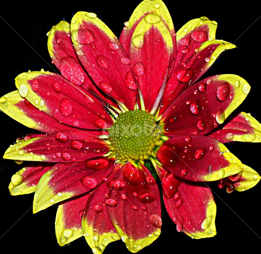 red tiger flower by Hafiz Ursa - Nature Up Close Flowers - 2011-2013