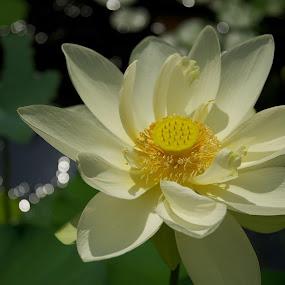 Nelumbo nucifera by Hugh Hazelrigg - Nature Up Close Flowers - 2011-2013