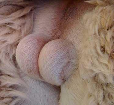 Testículos de alpaca
