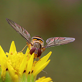 Hoverfly on a Ragwort Flower by Chrissie Barrow - Animals Insects & Spiders ( orange, wild, glistening, thorax, petals, green, abdomen, yellow, insect, bokeh, ragwort, eyes, hoverfly, macro, wings, legs, closeup, flower, animal )