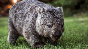Wombats, Kangaroos, Koalas thumbnail