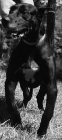 Mature Great Dane with deformity owing to severe HOD as a juvenile, which included extensive periosteal hemorrhage and subsequent new bone formation