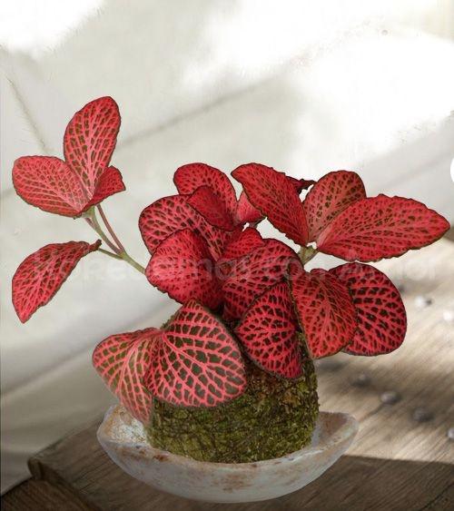 Cây lá may mắn đỏ fittonia