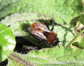 Photo: Tawny Miner Bee © Keith Gittens 2015