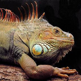 Le profil du dragon by Gérard CHATENET - Animals Reptiles (  )
