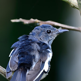 Oriental Magpie Robin by Azmi Jailani - Animals Birds