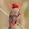 Red-Munia-Glance_DSC_6495.jpg