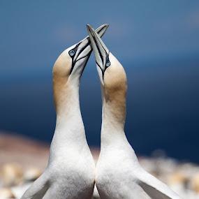 Bonding Gannets by Ron Harper - Animals Birds ( love, gannets, canada, nesting, pwctaggedbirds, bonding )