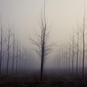 Poplars by Raffaello Terreni - Nature Up Close Trees & Bushes ( simmetry, fog, trees, poplars, mist )