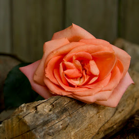 Wilted Rose on Woodpile by Robin Seaholm - Flowers Single Flower ( rose, outdoors, romantic, summer, romance, log, flower, outside, wilted )