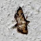 Lesser Rice-Leafroller Moth