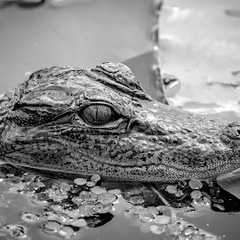 Alligator by Debbie Quick - Black & White Animals ( alligator, debbie quick, gator, nature, florida, pinellas county, reptile, debs creative images, outdoors, john chestnut senior park, palm harbor, animal, wild, wildlife )
