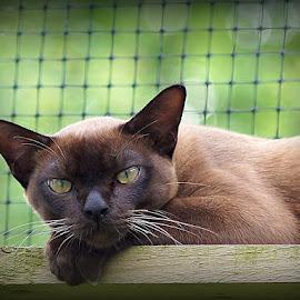 George by Caroline Beaumont - Animals - Cats Portraits ( kitten, pedigree cat, brown burmese, brown kitten, burmese cat )