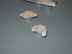"""Photo: Mathias HARZHAUSER, Directeur de la partie Géologie-Paléontologie du Musée NHM a déclaré : """"J'ai souhaité présenter ces fossiles comme des diamants."""""""