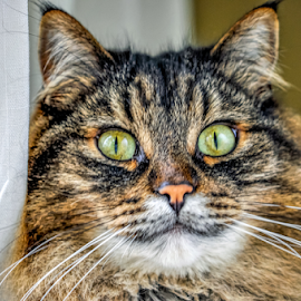 by Keith Sutherland - Animals - Cats Portraits