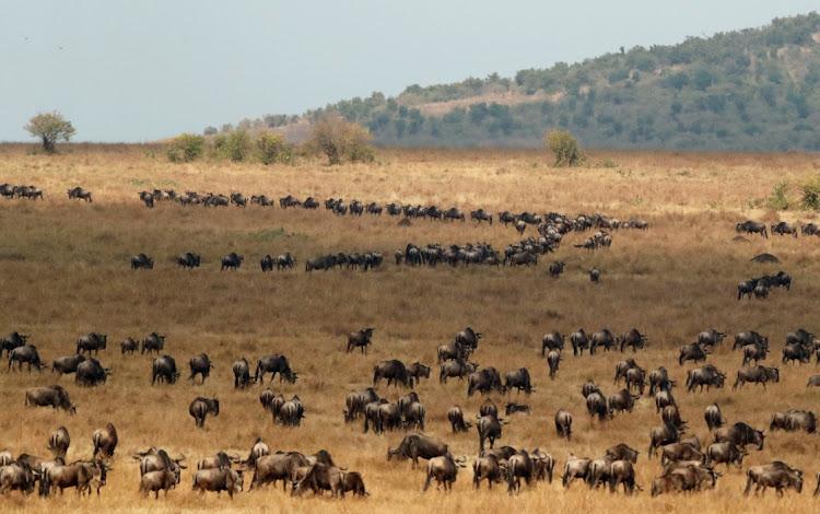 Gnous dans la réserve de chasse du Maasai Mara en route vers les plaines ouvertes du Serengeti, au sud-ouest de Nairobi, Kenya, le 9 août 2020. Photo: REUTERS / THOMAS MUKOYA