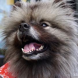 Smilin' Sammy by Barbara Brock - Animals - Dogs Portraits ( smiling dog, mammal, happy, canine, happy animal, dog, pet )