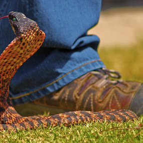 Step Back by Ruari Plint - Animals Reptiles ( snake, boot, poised, bright, warning,  )