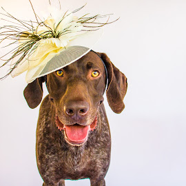 happy hat by Meaghan Browning - Animals - Dogs Portraits ( studio, german shorthaired pointer, pointer, gsp, hat )