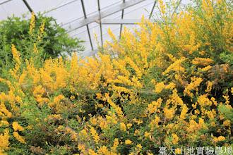 Photo: 拍攝地點: 梅峰-溫帶花卉區 拍攝植物: 小金雀花 拍攝日期: 2015_05_29_FY