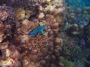 Photo: a parrotfish swimming amidst coral