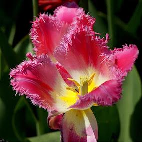 cool pink  by Muthu Ravi - Nature Up Close Flowers - 2011-2013 ( macro, nature, pink, flowers, garden, close up )