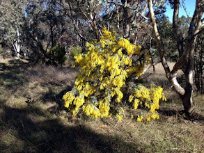 Photo: The wattle is out