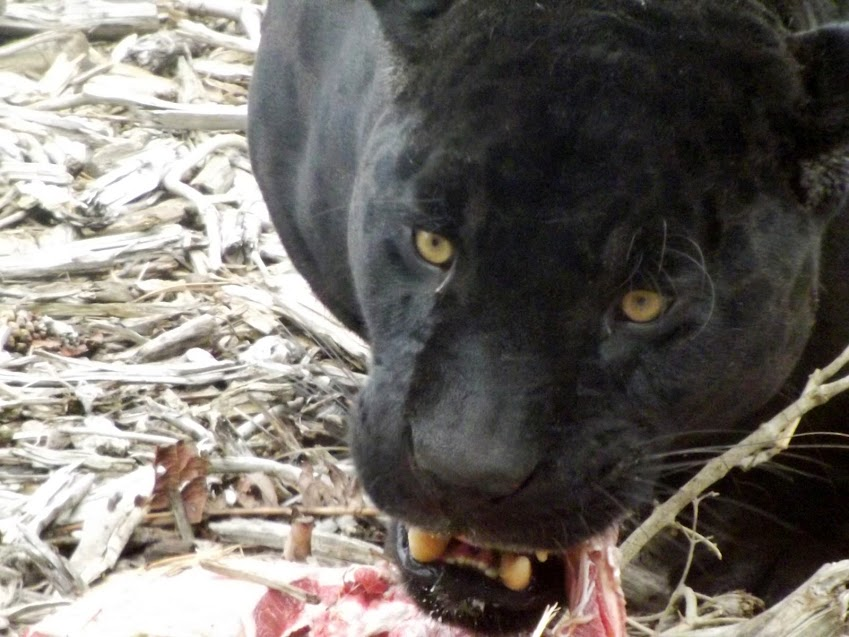 Jaguar noir, Parc zoologique de Paris - Tous droits réservés