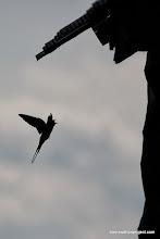 Photo: barn swallow silhouette