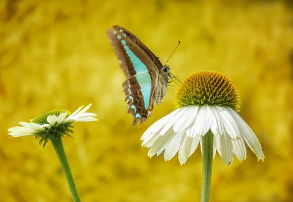 Farfalla blu del triangolo sul fiore del cono
