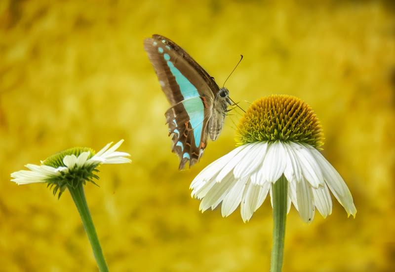 Farfalla blu del triangolo sul fiore del cono di Canguro