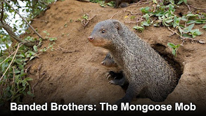 Banded Brothers: The Mongoose Mob thumbnail