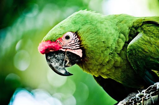 A green parrot in the brush on Roatan Island, Honduras.