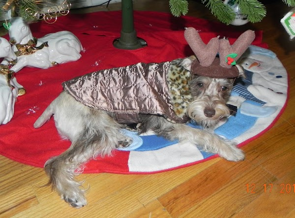 Paczki's Christmas pictures for 2011 under the tree....he is our tiny little reindeer. haha