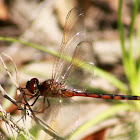 Four-spotted Pennant Dragonfly (immature)