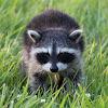 Northern Raccoon (Kit)
