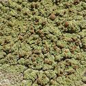 Phyllopsora Lichen