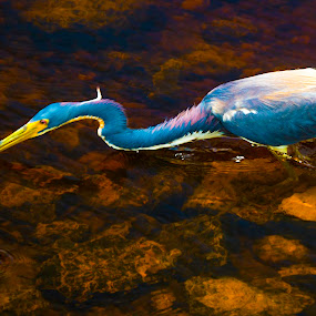 Darting for Fish by James Newberry - Animals Birds ( water, bird, blue heron, outdoors, natural )