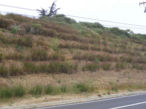 Photo: Until these vetiver hedges were planted on this slope at Santa Barbara City College , sediment flowed into the street with every significant storm. Note how the vetiver hedgerows improves the micro-climate of the site allowing native plants to establish