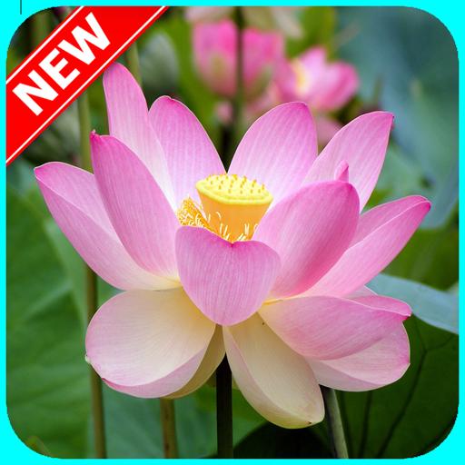 App insights hd lotus flower wallpaper apptopia hd lotus flower wallpaper mightylinksfo