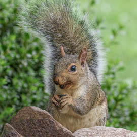 Tails Up by Kathy Jean - Animals Other Mammals ( squirrel, mammal, animal, squirrel with fluffy tail, other mammal )