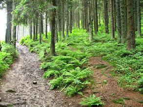 Photo: 11.Na mnie już czas: w lesie na podejściu na Gorc.