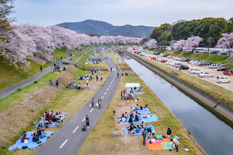 Photo: People enjoy hanami parties along a small section of the Asahi River in Okayama City, Okayama Prefecture