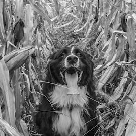 Pablo au maïs by Thierry Madère - Animals - Dogs Portraits (  )