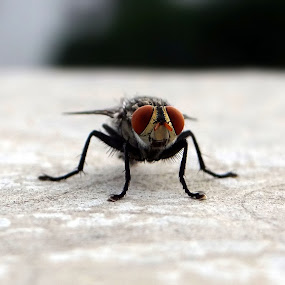 small but huge by Sanket Warudkar - Animals Insects & Spiders ( canon 600d, macro, fly, house fly, red eye, red eyed house fly )