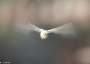 Photo: Emperor Dragonfly Bluewaters, Healey Nab 22.07.12