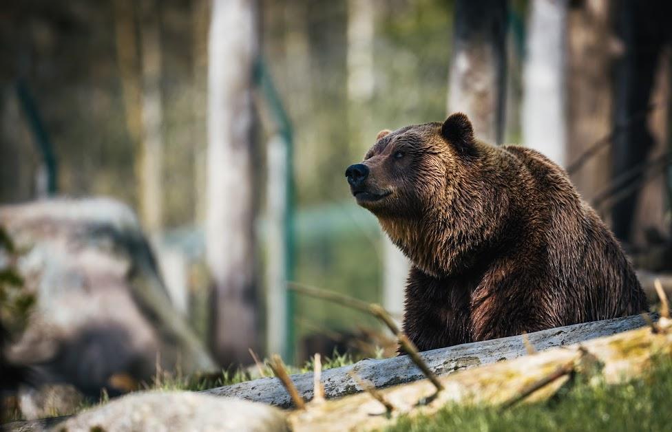 Niedźwiedź, Dzikie zwierzęta w Kanadzie